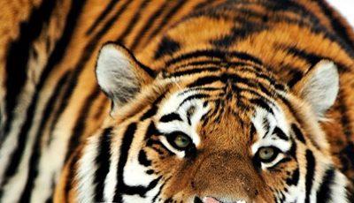 Brian's big tiger story
